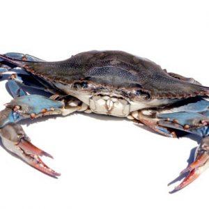 Cranc blau cangrejo azul peix a casa
